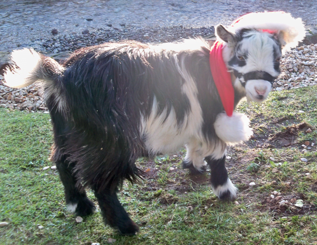 Pygmy Goats – 2011 – 12 – Dec  – 20011